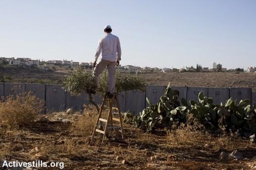 חקלאי בכפר ניעלין מקיף על אדמותיו שמעבר לחומה (קרן מנור / אקטיבסטילס)