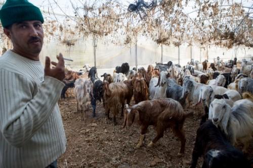 אבו אל-עבד רוצה להחליף את עדר העזים במשאית